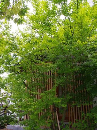 シンボルツリー イロハモミジ