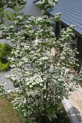 シンボルツリー ヤマボウシ