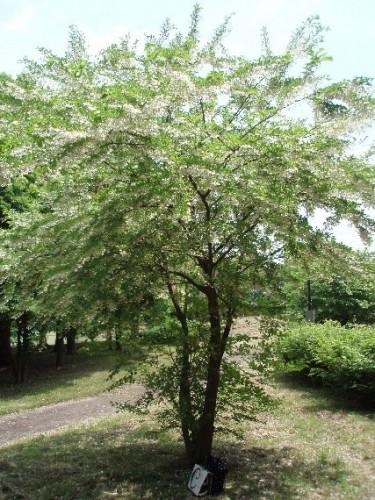 シンボルツリー エゴノキ